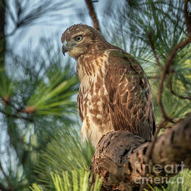 Perched for Hunting - Red Tailed Hawk by Dale Powell
