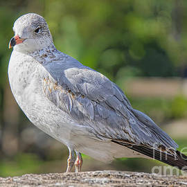 Perched Gull by Judy Kay