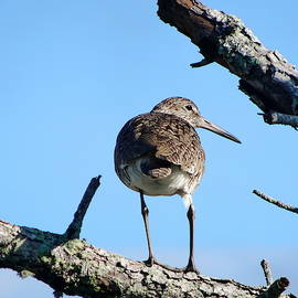 Perched Willet Eastern by Lyuba Filatova