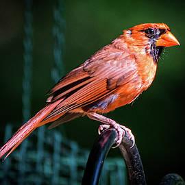 Perching Cardinal by Mary Ann Artz