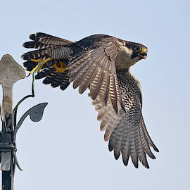 Peregrine Falcon, Falco peregrinus, wildlife Europe by Wonderfulearth