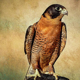 Peregrine Falcon by John Bartelt
