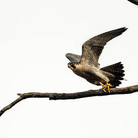 Sam Rino - Peregrine Falcon Taking Off