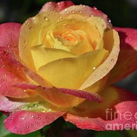 Perfect Blend - Rose by Cindy Treger