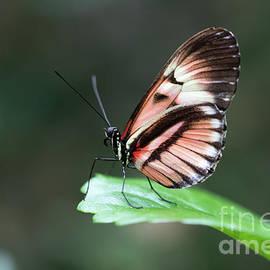 Piano Key Butterfly by Deborah Seely