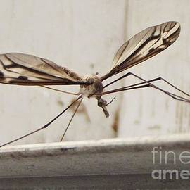 Picture Winged Crane Fly Portrait              September          Indiana by Rory Cubel
