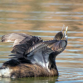 Pied-billed Grebe 1199-011719 by Tam Ryan