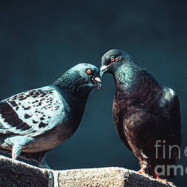 Pigeon Kiss. Just a Peck by Stephen Geisel
