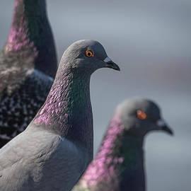 David Cutts - Pigeon Pals.