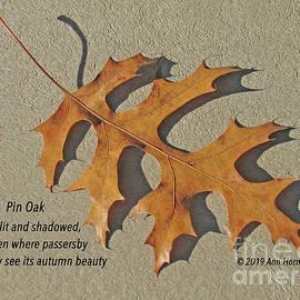 Pin Oak by Ann Horn