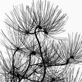 Pine Needles in Chiaroscuro by Norman Gabitzsch