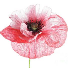 Pink and White Poppy by Ann Garrett