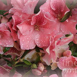 Pink Azaleas in Early Spring by Dora Sofia Caputo Photographic Design and Fine Art