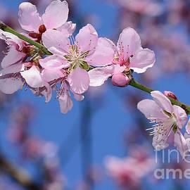 Pink Blossoms on Spring Bokeh by Kaye Menner by Kaye Menner