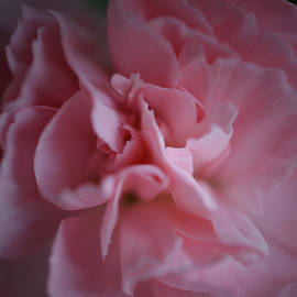 Pink Carnation by Richard Andrews