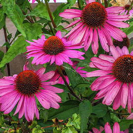 Pink Cone Flowers by James C Richardson