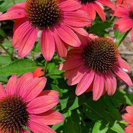 Pink Cone Flowers by Linda Covino