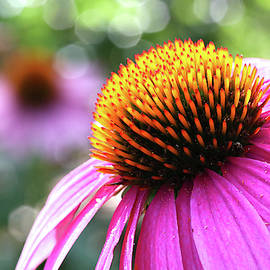 Purple Coneflower Close Up by Trina Ansel