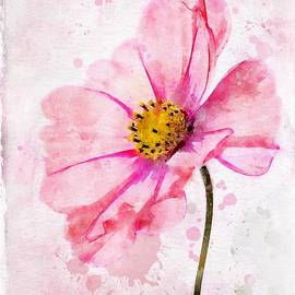 Pink Cosmos by John Edwards