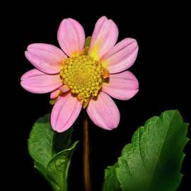 Pink Dahlia 017 by George Bostian