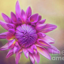 Pink Dahlia Glow by Sharon McConnell