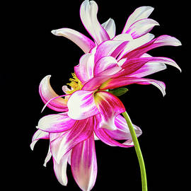 Pink Dahlia Profile by Jean Noren