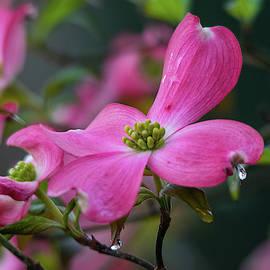 Pink Dogwood After Rain by Mary Ann Artz
