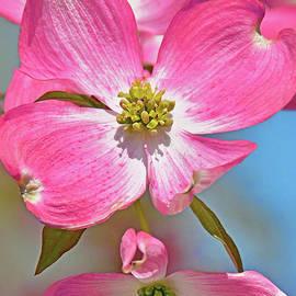 Pink Dogwood Floral Portrait by Regina Geoghan