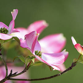 Pink Dogwood by Mary Ann Artz