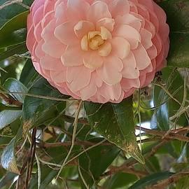 Pink Flower by Stephanie Pieczynski