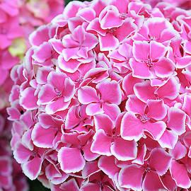 Isabela and Skender Cocoli - Pink Hydrangea