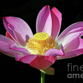 Mariarosa Rockefeller - Pink Lotus Flower