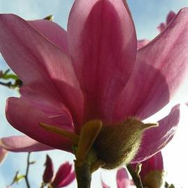 Pink Magnolia Flower by Art Sandi