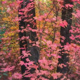 Saija Lehtonen - Pink Maple Forest
