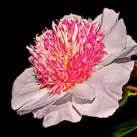 Do Tell Peony 033 by George Bostian