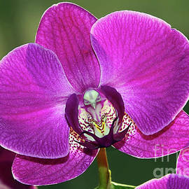 Pink Phalaenopsis Orchid with Bird by Kaye Menner