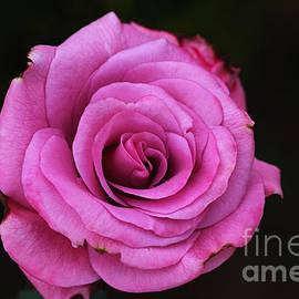 Pink Popping Rose by Joy Watson