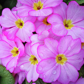 Pink Primulas by Angie C