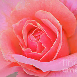 Pink Rose for Romance by Regina Geoghan