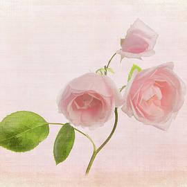 Pink Rose by Robert Murray