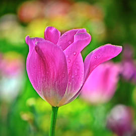 Pink Tulip 033 by George Bostian