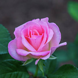 Pink Unfolding by Carrie Goeringer