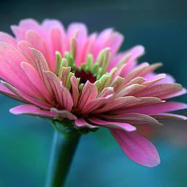 Pink Zinnia by Jessica Jenney