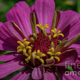 Pink Zinnia by Linda Howes