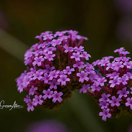 Connie Allen - Pint-Sized Purple Flowers
