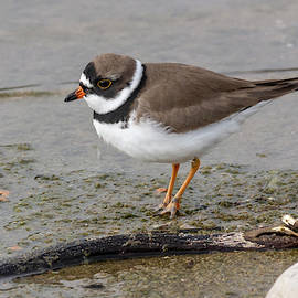 Plover on the Shore by Bruce Frye