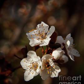 Plum Tree Blooms by Robert Bales