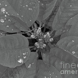 Poinsettia With Raindrops Bw by D Hackett