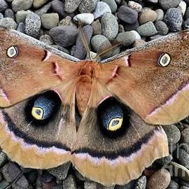 Polyphemus Silk Male Moth by Jeffrey Koss