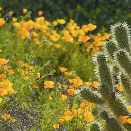 Poppies And Cholla Cactus 5569 by Tam Ryan